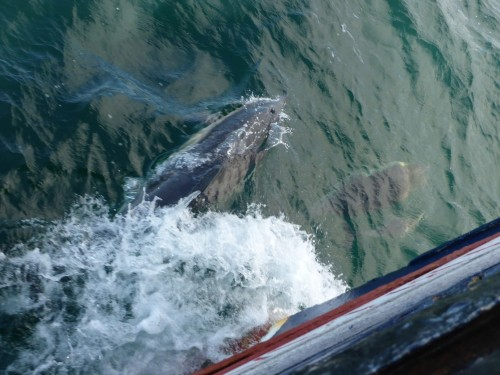 Figure 13. Dolphins 'bow-riding' our vessel Kylebhan on our way to Portree, Isle of Skye (Photo by: Jonathan Benjamin).