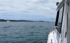 Figure 2: A large pod of dolphins passing the vessel during the magnetometer survey.