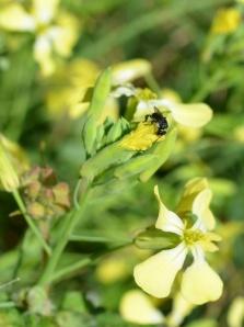 Gubbi- Native Stingless Bee